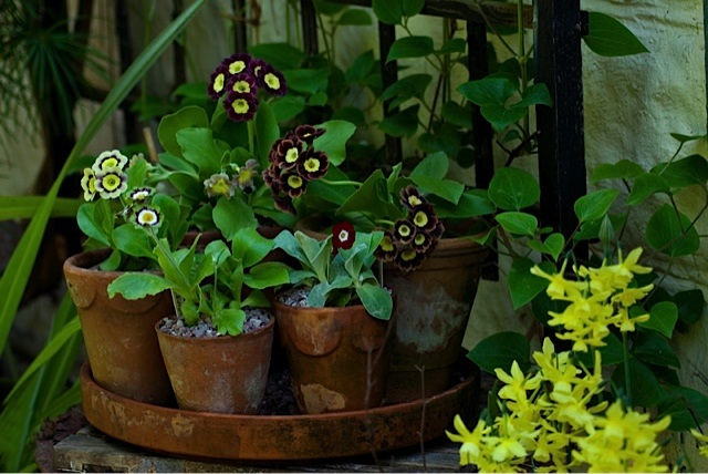 auriculas in bterracotta pots