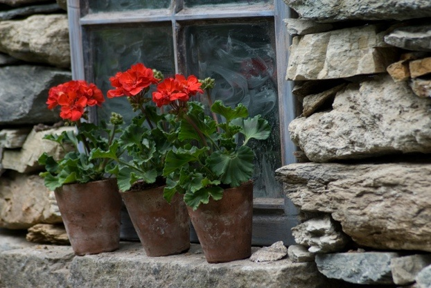 geraniums potted up on windowsill