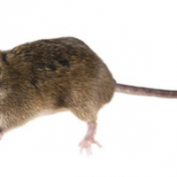 5 Proven Ways to Get Rid of Mouse Infestation