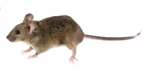 do mice leave on their own