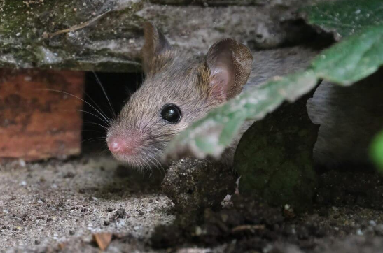 Use Mouse Repellents